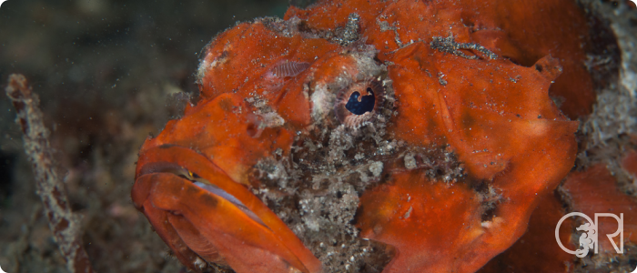 Identifying Scorpionfish on Muck Dives (Asian Diver Article issue 106)