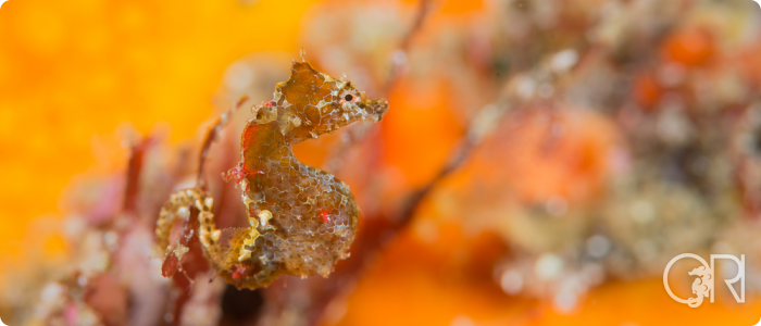 The Japanese Pygmy Seahorse – Hippocampus sp.