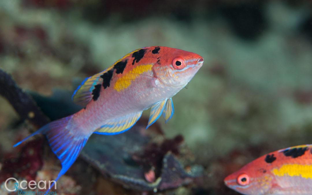 Bird's Head Seascape – Natural History Notes (PT5: Raja Rarities)