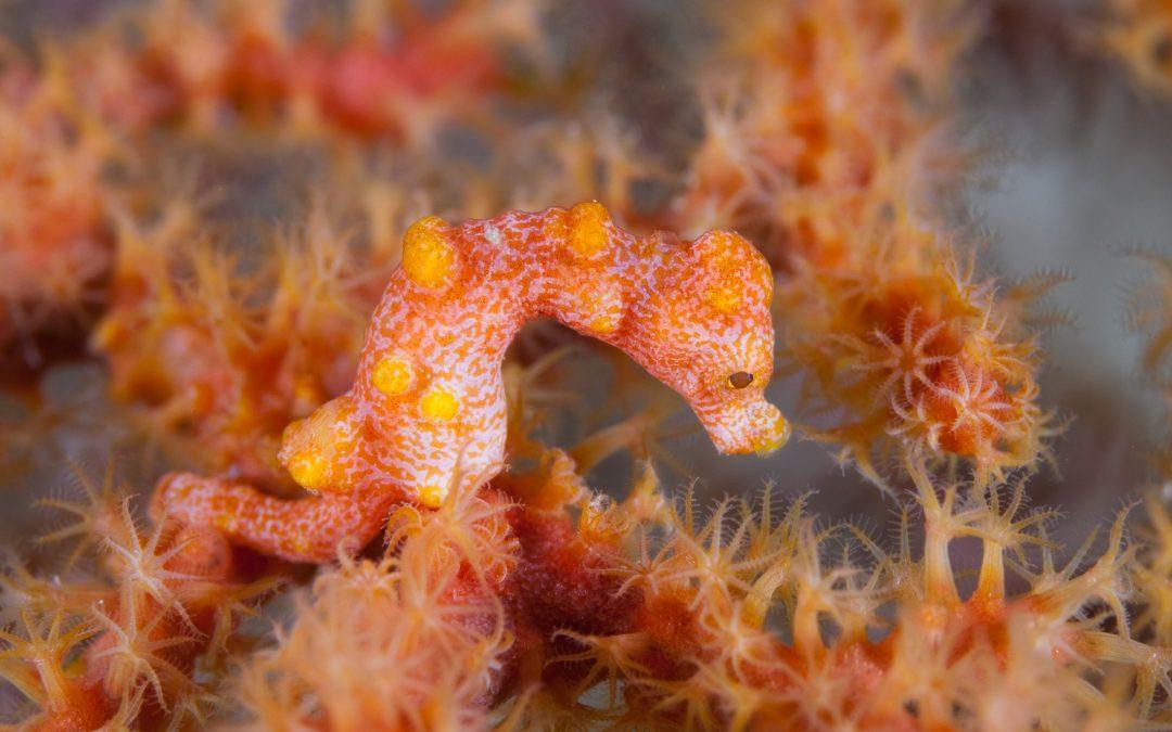 Bird's Head Seascape – Natural History Notes (PT4: The Pygmy Seahorses of Raja Ampat)